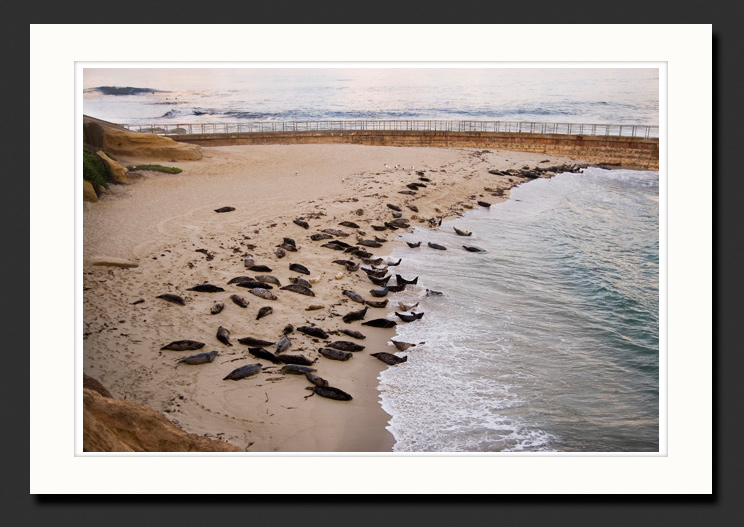san diego beach seals photograph